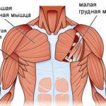 Какова функция грудной мышцы ?