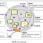 Какие типы клеток входят в фазу G0 ?