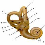 Каковы две функции внутреннего уха ?