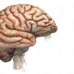 Является ли мозг мышцей ?