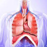 Какие основные органы находятся в грудной полости ?