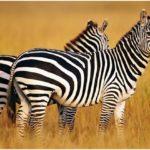 Каковы некоторые животные, которые населяют саванны ?