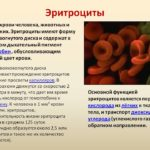 Какова средняя продолжительность жизни эритроцита ?