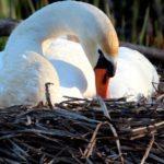 Все ли птицы откладывают яйца ?