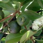 Ядовиты ли листья эвкалипта ?