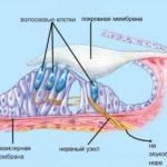 Что такое базилярная мембрана ?