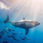 Как общаются акулы?