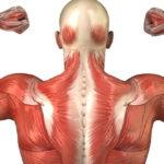 Из чего сделаны мышцы?