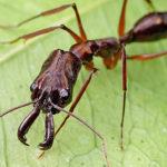 Есть ли сердце у муравья?