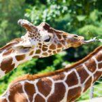 Какое животное имеет самый длинный язык?