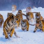 Как называется группа тигров?
