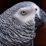 Как долго живет африканский серый попугай?