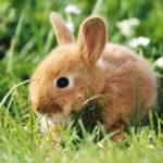 Чем кормить диких кроликов?