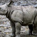 Почему носорогам угрожает вымирание?