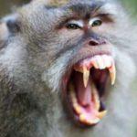 Как обезьяны защищают себя?