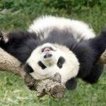 Где живут гигантские панды?