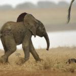 Как двигаются слоны?