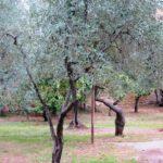 Сколько лет живет оливковое дерево (олив ) — средняя продолжительность жизни