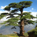 Сколько лет живет Кедр — продолжительность жизни